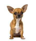 stary chihuahua (1) rok Zdjęcia Royalty Free