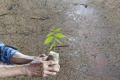 Stary człowiek ręki trzyma zielonej młodej rośliny sucha z ziemią i cracke Obraz Royalty Free
