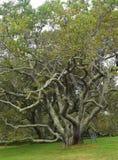 Stary Czarny Czereśniowy drzewo 1 Fotografia Stock