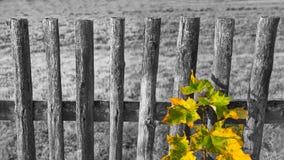 Stary czarny i biały ogrodzenie i barwiący liście na pospolitym klonie rozgałęziamy się acer obraz stock