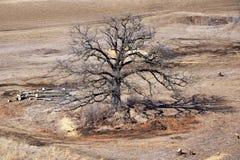Stary Dębowy drzewo Fotografia Royalty Free