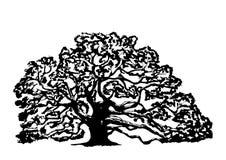 Stary dębowy drzewo na białym tle, Obraz Royalty Free