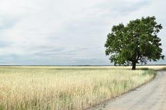 Stary dębowy drzewo po środku pola zdjęcie royalty free