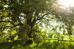 Stary dębowy drzewo w jaskrawym letnim dniu obrazy royalty free