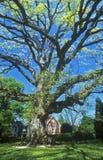 Stary dębowy drzewo w Stany Zjednoczone, Wschodni brzeg, Oxford, MD obraz stock