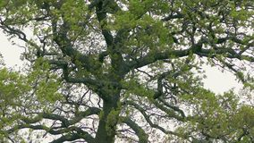 Stary Dębowy drzewo W wiatrze zdjęcie wideo