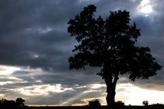 Stary Dębowy drzewo Zdjęcie Royalty Free
