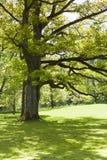 Stary Dębowy drzewo Obraz Royalty Free