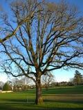 Stary Dębowy drzewo Obrazy Stock