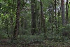 Stary deciduous las w lecie Fotografia Royalty Free