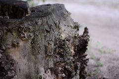 Stary drewniany fiszorek abstrakcjonistyczny tła wzoru fiszorka drzewo tekstury korowaty stary topolowy drzewo Obrazy Royalty Free
