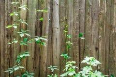 Stary drewniany ogrodzenie przerastający z bluszczem tło textured fotografia stock