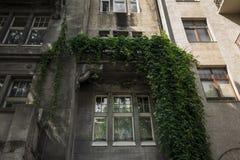 Stary drewniany okno i budynek zakrywaliśmy zielonego winogradu Zdjęcia Royalty Free
