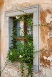Stary drewniany okno przerastający z bluszczem w spadku barwi obraz royalty free