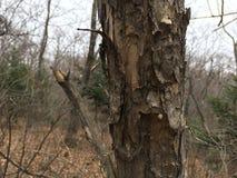 Stary drzewny bagażnik, zakończenie las jesieni Fotografia Royalty Free