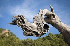 Stary drzewny bagażnik Zdjęcie Stock