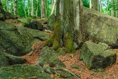 Stary drzewny dorośnięcie między skałami Obrazy Stock