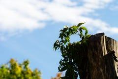 Stary drzewny fiszorek i vining roślina zdjęcie royalty free