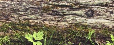 Stary drzewny lying on the beach na zmielonej panoramie obraz royalty free
