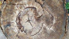 Stary drzewny pierścionek SEKCJA STARY WIELKI drzewo zdjęcie stock