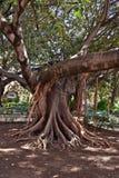 stary drzewo Fotografia Stock