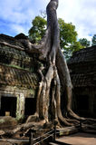 stary drzewo Obraz Royalty Free
