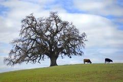stary drzewo Obrazy Royalty Free