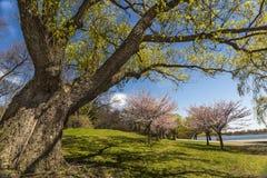 Stary drzewo i Czereśniowi okwitnięcia Fotografia Stock