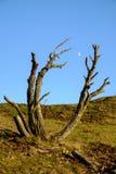 Stary drzewo i księżyc Zdjęcia Stock