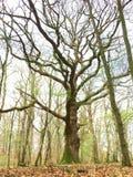 Stary drzewo, Luksemburg, Europa Zdjęcia Royalty Free