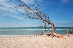Stary drzewo na plaży z niebieskim niebem obraz stock