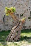 Stary drzewo na wyspie Rhodes Fotografia Stock