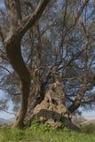 Stary drzewo oliwne fotografia stock