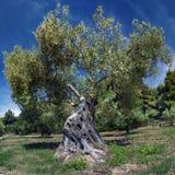 Stary drzewo oliwne Zdjęcie Stock