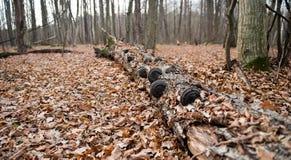Stary drzewo przerastający z grzybami w liściach Obraz Royalty Free