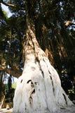 Stary drzewo przy lasem - Afryka Zdjęcie Stock