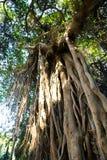 Stary drzewo przy lasem - Afryka Obraz Stock