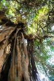 Stary drzewo przy lasem - Afryka Zdjęcia Stock