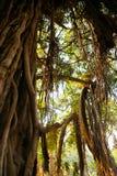 Stary drzewo przy lasem - Afryka Obrazy Royalty Free