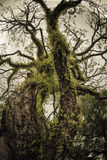 Stary drzewo w Bandy wyspie Zdjęcie Royalty Free