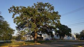 Stary drzewo w Mississippi Zdjęcia Stock