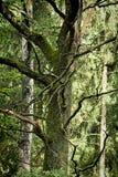 Stary drzewo z gnarled gałąź w lesie obrazy royalty free