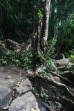 Stary drzewo z korzeniami na kamieniach w rainforrest, Sril Zdjęcia Stock