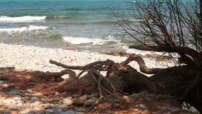 Stary drzewo zakorzenia dorośnięcie na dennym brzeg zbiory wideo