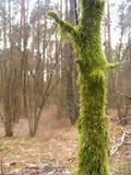 Stary drzewo zakrywający iść zielonym mech Obrazy Royalty Free
