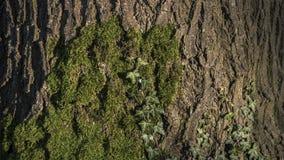 Stary drzewo zakrywający zielonym mech Obrazy Royalty Free