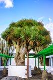 Stary duży zielonego smoka drzewo, wyspy kanaryjska, Hiszpania Obraz Stock