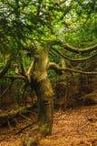 Stary dziwny drzewo Zdjęcia Stock