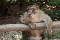 Stary ekspresyjny makak na drewnianym ogrodzeniu w lesie fotografia stock