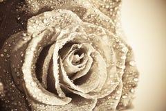 stary fashionen rose Obrazy Royalty Free